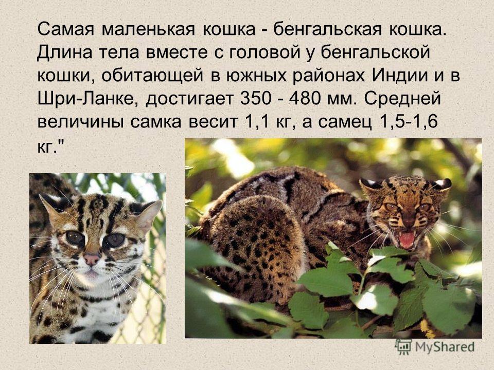 Самая маленькая кошка - бенгальская кошка. Длина тела вместе с головой у бенгальской кошки, обитающей в южных районах Индии и в Шри-Ланке, достигает 350 - 480 мм. Средней величины самка весит 1,1 кг, а самец 1,5-1,6 кг.