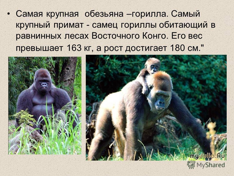 Самая крупная обезьяна –горилла. Самый крупный примат - самец гориллы обитающий в равнинных лесах Восточного Конго. Его вес превышает 163 кг, а рост достигает 180 см.