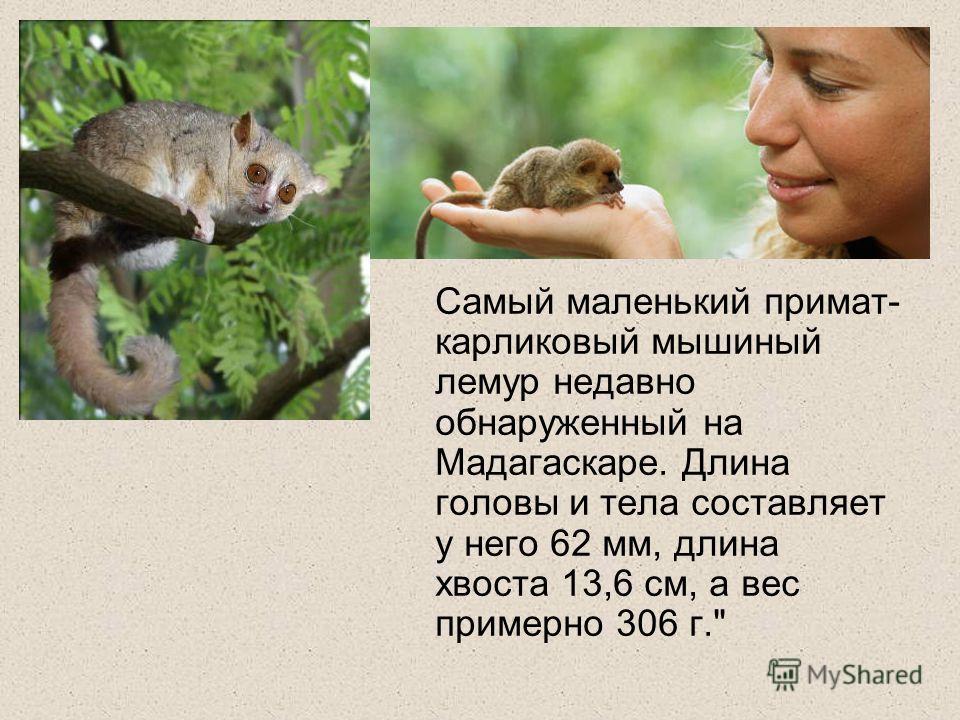 Самый маленький примат- карликовый мышиный лемур недавно обнаруженный на Мадагаскаре. Длина головы и тела составляет у него 62 мм, длина хвоста 13,6 см, а вес примерно 306 г.