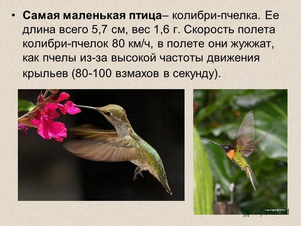 Самая маленькая птица– колибри-пчелка. Ее длина всего 5,7 см, вес 1,6 г. Скорость полета колибри-пчелок 80 км/ч, в полете они жужжат, как пчелы из-за высокой частоты движения крыльев (80-100 взмахов в секунду).
