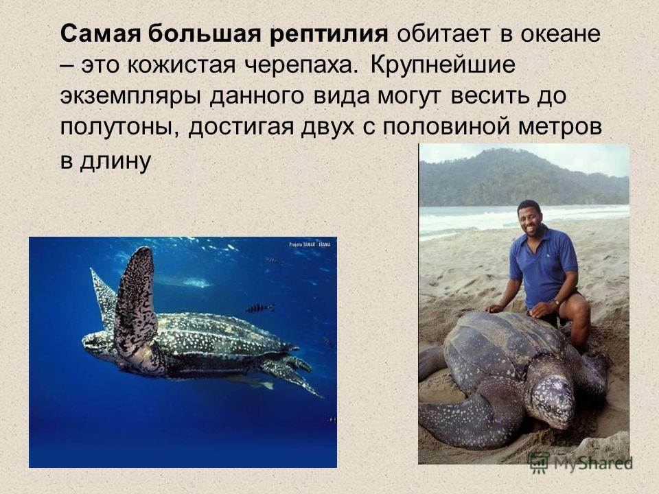 Самая большая рептилия обитает в океане – это кожистая черепаха. Крупнейшие экземпляры данного вида могут весить до полутоны, достигая двух с половиной метров в длину