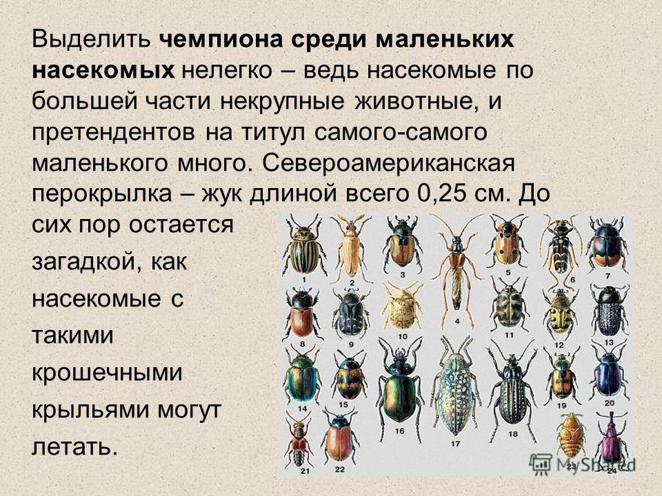 Выделить чемпиона среди маленьких насекомых нелегко – ведь насекомые по большей части некрупные животные, и претендентов на титул самого-самого маленького много. Североамериканская перокрылка – жук длиной всего 0,25 см. До сих пор остается загадкой,