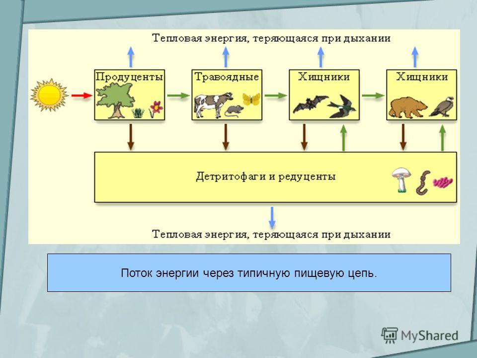 Поток энергии через типичную пищевую цепь.