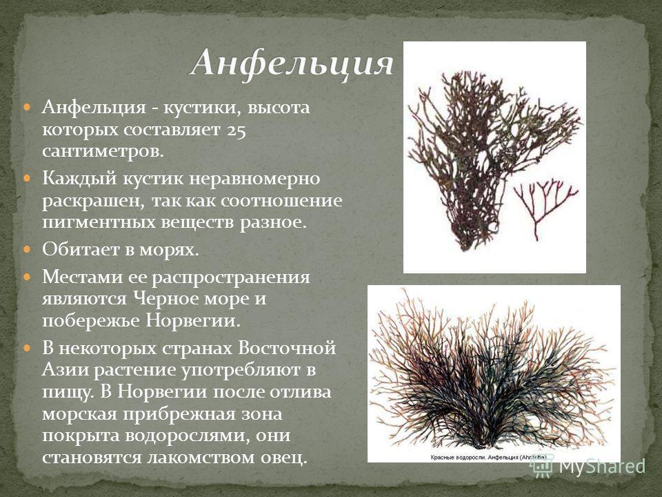 Анфельция - кустики, высота которых составляет 25 сантиметров. Каждый кустик неравномерно раскрашен, так как соотношение пигментных веществ разное. Обитает в морях. Местами ее распространения являются Черное море и побережье Норвегии. В некоторых стр