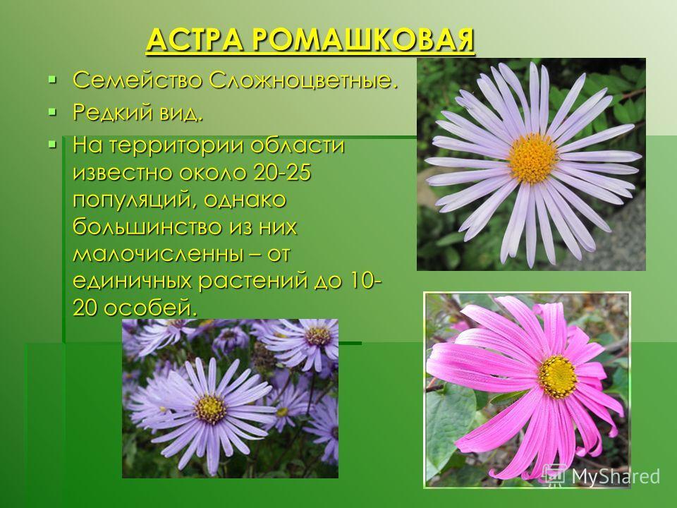 АСТРА РОМАШКОВАЯ АСТРА РОМАШКОВАЯ Семейство Сложноцветные. Семейство Сложноцветные. Редкий вид. Редкий вид. На территории области известно около 20-25 популяций, однако большинство из них малочисленны – от единичных растений до 10- 20 особей. На терр