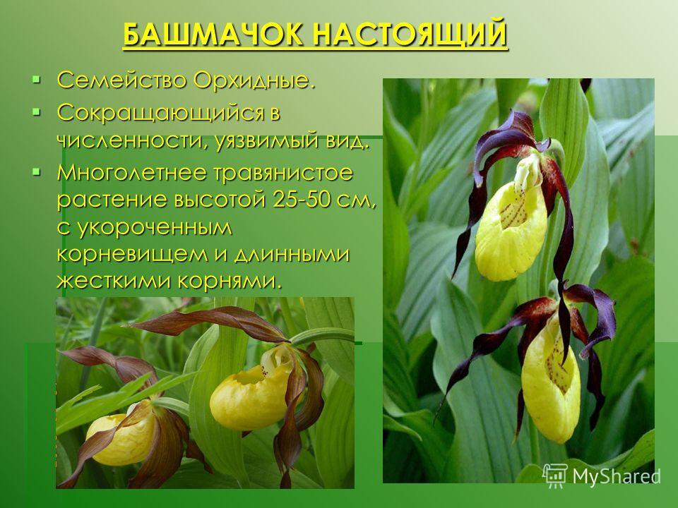 БАШМАЧОК НАСТОЯЩИЙ БАШМАЧОК НАСТОЯЩИЙ Семейство Орхидные. Семейство Орхидные. Сокращающийся в численности, уязвимый вид. Сокращающийся в численности, уязвимый вид. Многолетнее травянистое растение высотой 25-50 см, с укороченным корневищем и длинными