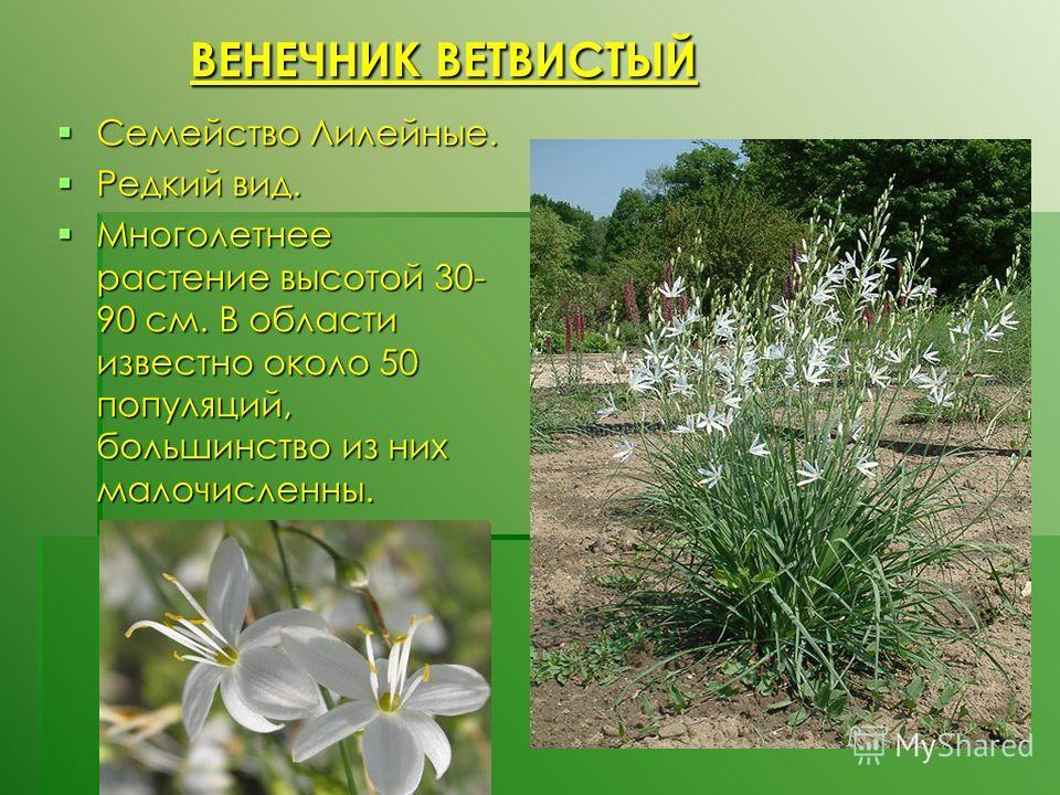 ВЕНЕЧНИК ВЕТВИСТЫЙ ВЕНЕЧНИК ВЕТВИСТЫЙ Семейство Лилейные. Семейство Лилейные. Редкий вид. Редкий вид. Многолетнее растение высотой 30- 90 см. В области известно около 50 популяций, большинство из них малочисленны. Многолетнее растение высотой 30- 90