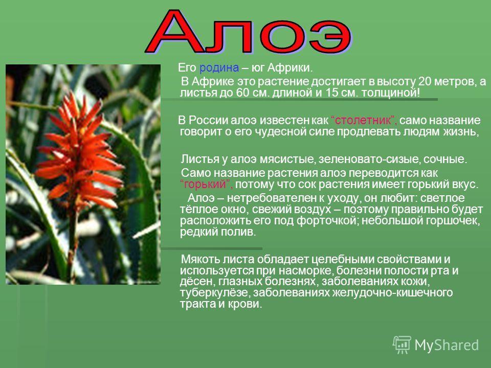 Его родина – юг Африки. В Африке это растение достигает в высоту 20 метров, а листья до 60 см. длиной и 15 см. толщиной! В России алоэ известен как столетник, само название говорит о его чудесной силе продлевать людям жизнь, Листья у алоэ мясистые, з