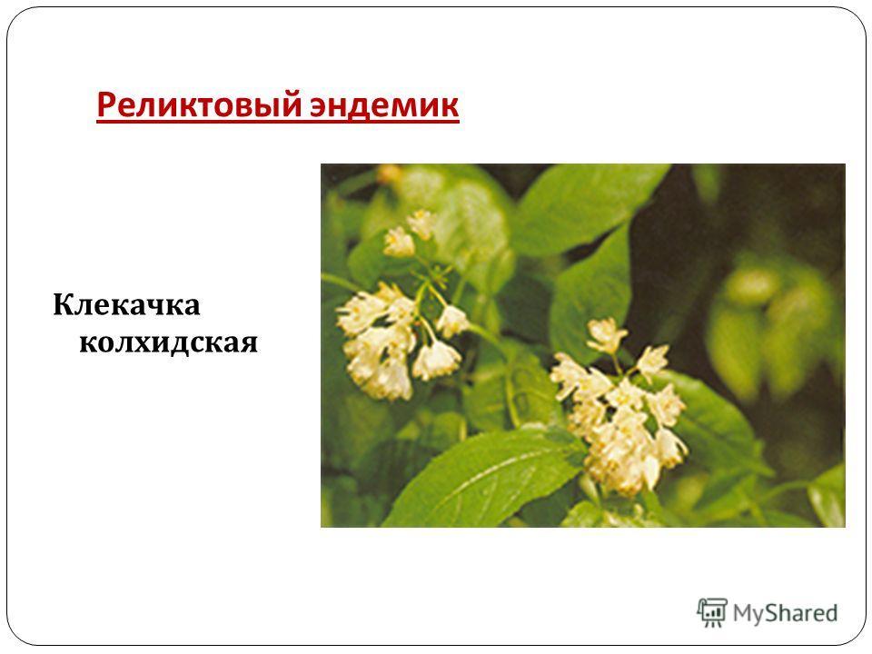 Реликтовый эндемик Клекачка колхидская