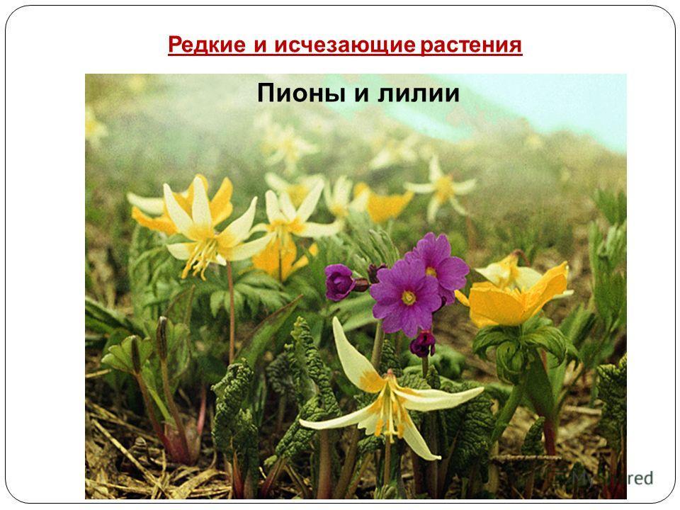 Пионы и лилии Редкие и исчезающие растения