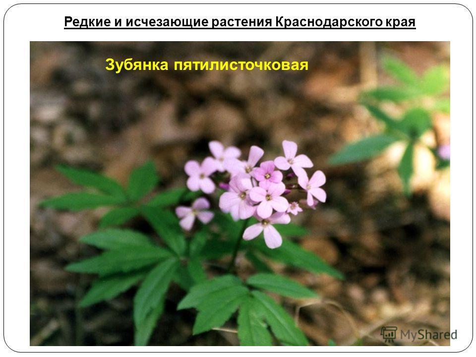 Зубянка пятилисточковая Редкие и исчезающие растения Краснодарского края