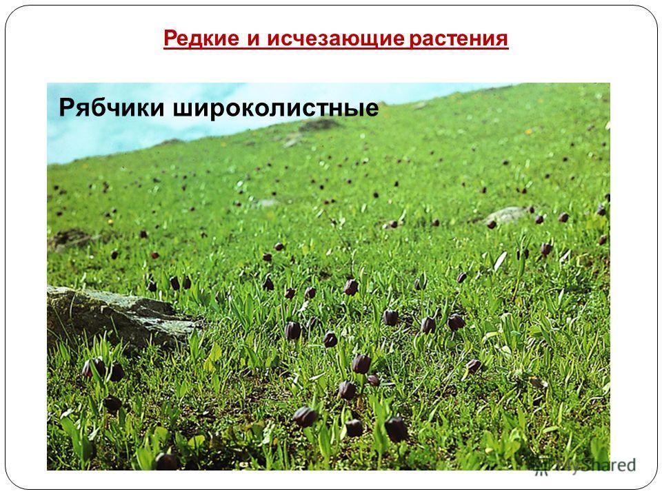 Рябчики широколистные Редкие и исчезающие растения