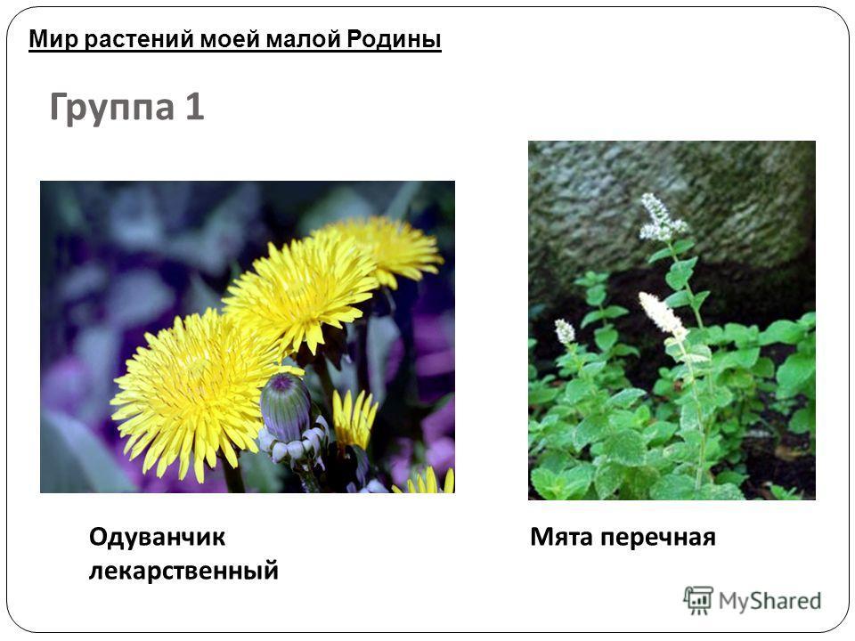 Группа 1 Одуванчик лекарственный Мята перечная Мир растений моей малой Родины