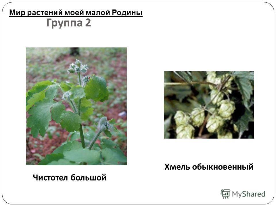 Группа 2 Чистотел большой Хмель обыкновенный Мир растений моей малой Родины