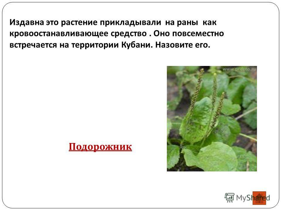 Издавна это растение прикладывали на раны как кровоостанавливающее средство. Оно повсеместно встречается на территории Кубани. Назовите его. Подорожник