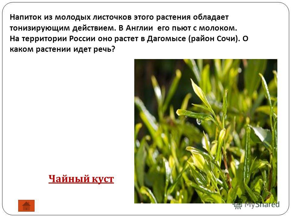 Напиток из молодых листочков этого растения обладает тонизирующим действием. В Англии его пьют с молоком. На территории России оно растет в Дагомысе ( район Сочи ). О каком растении идет речь ? Чайный куст