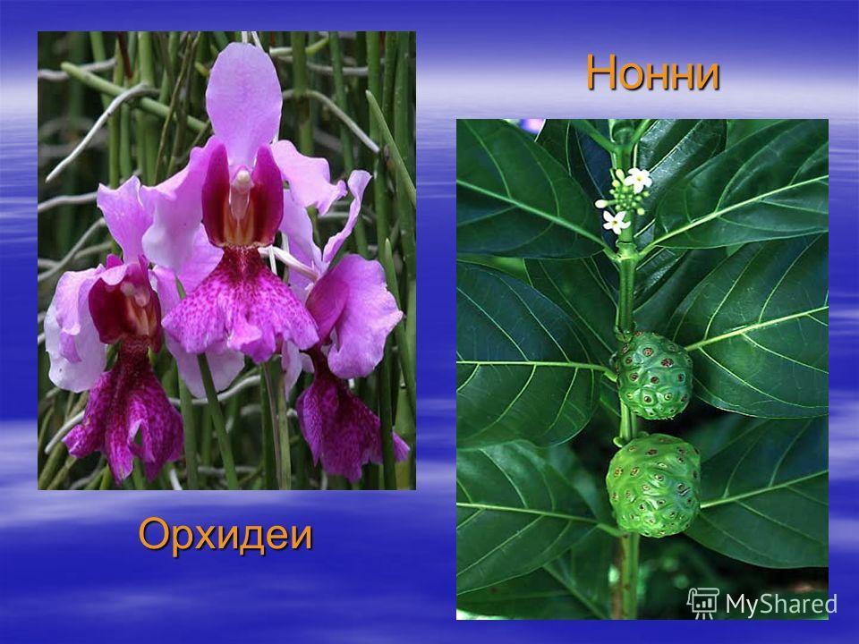 Нонни Орхидеи