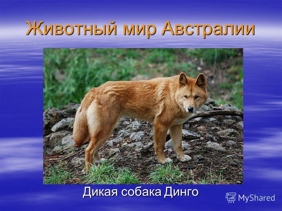 Животный мир Австралии Дикая собака Динго