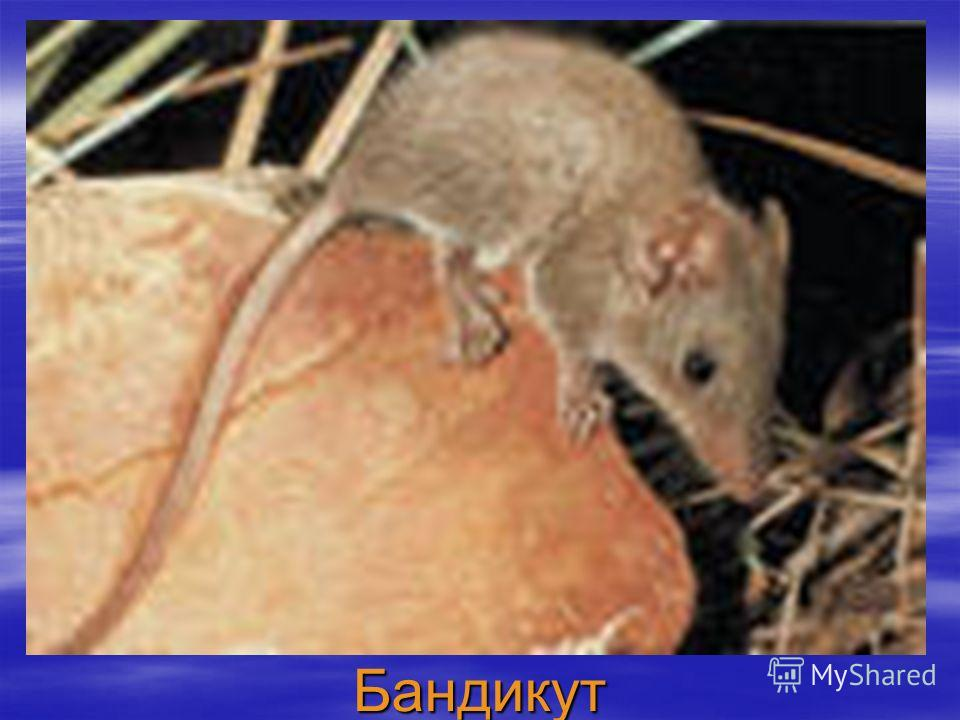Бандикут