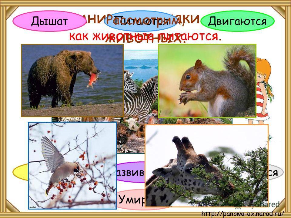 Вспомните признаки жизни животных. Дышат Питаются Развиваются Размножаются Умирают Растут Двигаются Рассмотрим, как животные питаются.