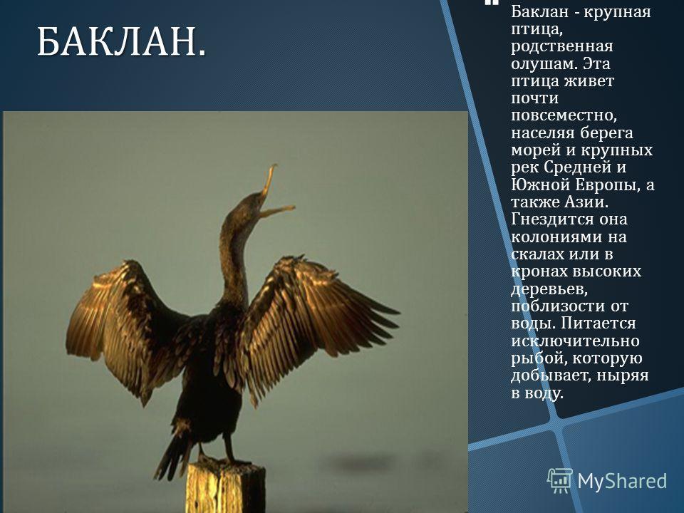 БАКЛАН. Баклан - крупная птица, родственная олушам. Эта птица живет почти повсеместно, населяя берега морей и крупных рек Средней и Южной Европы, а также Азии. Гнездится она колониями на скалах или в кронах высоких деревьев, поблизости от воды. Питае