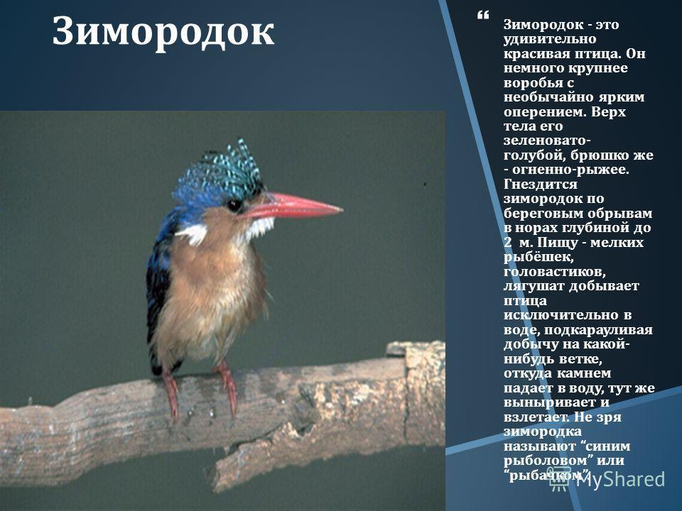 Зимородок Зимородок - это удивительно красивая птица. Он немного крупнее воробья с необычайно ярким оперением. Верх тела его зеленовато - голубой, брюшко же - огненно - рыжее. Гнездится зимородок по береговым обрывам в норах глубиной до 2 м. Пищу - м