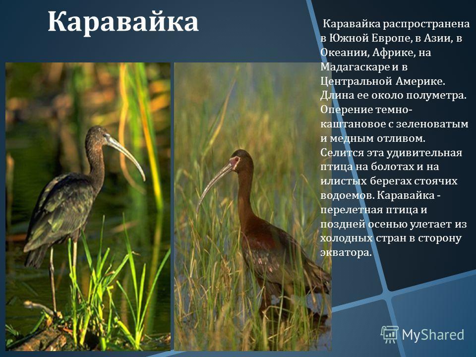 Каравайка Каравайка распространена в Южной Европе, в Азии, в Океании, Африке, на Мадагаскаре и в Центральной Америке. Длина ее около полуметра. Оперение темно - каштановое с зеленоватым и медным отливом. Селится эта удивительная птица на болотах и на