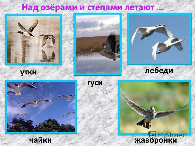 утки гуси лебеди чайки жаворонки