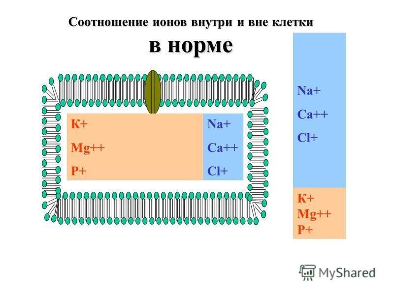 К+ Mg++ P+ Na+ Ca++ Cl+ Соотношение ионов внутри и вне клетки в норме Na+ Ca++ Cl+ К+ Mg++ P+