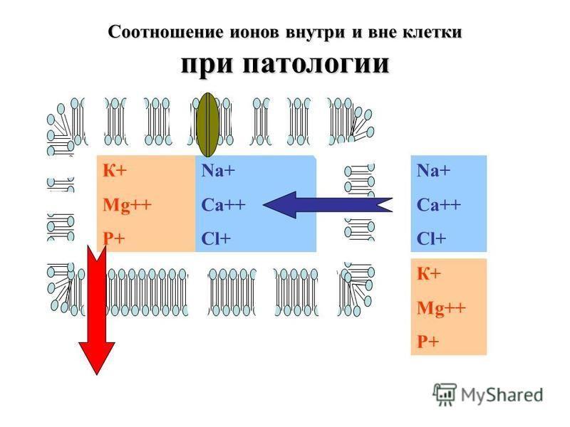 Na+ Ca++ Cl+ К+ Mg++ P+ Na+ Ca++ Cl+ Соотношение ионов внутри и вне клетки при патологии К+ Mg++ P+