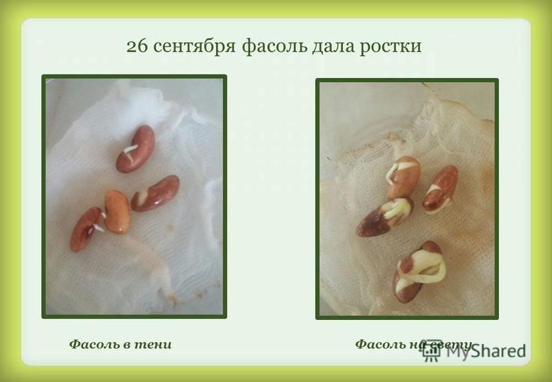 26 сентября фасоль дала ростки Фасоль в тени Фасоль на свету