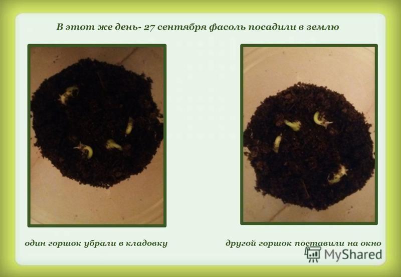 В этот же день- 27 сентября фасоль посадили в землю один горшок убрали в кладовку другой горшок поставили на окно