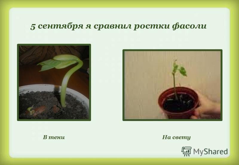 5 сентября я сравнил ростки фасоли В тени На свету