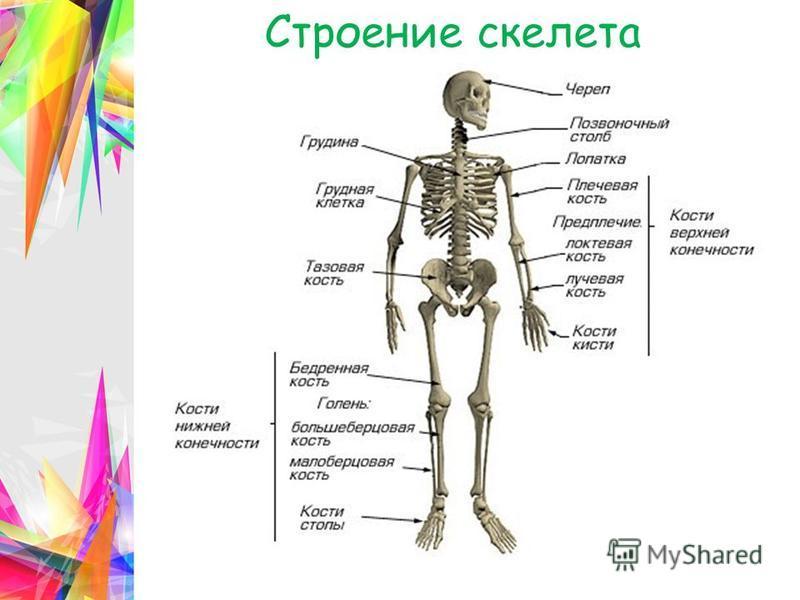 пресмыкающиеся скелет строение грудной клетки проблеме могут