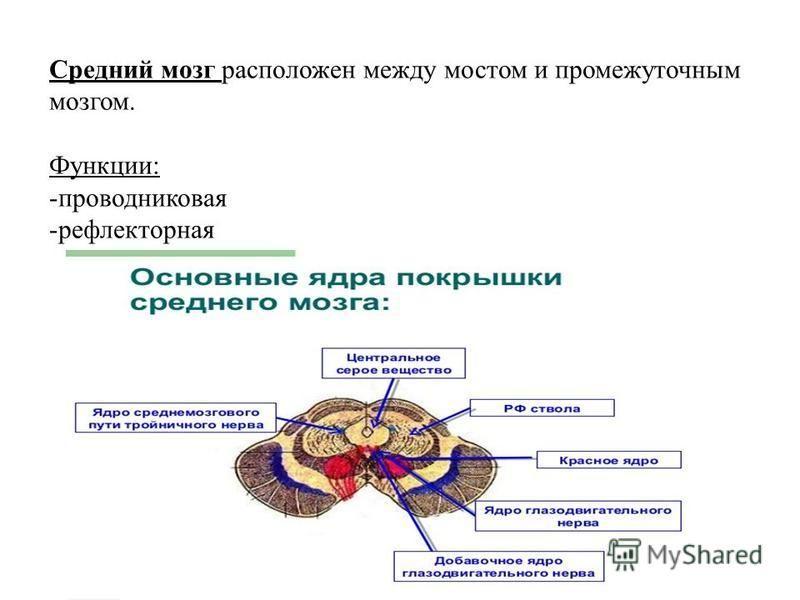 Средний мозг расположен между мостом и промежуточным мозгом. Функции: -проводниковая -рефлекторная
