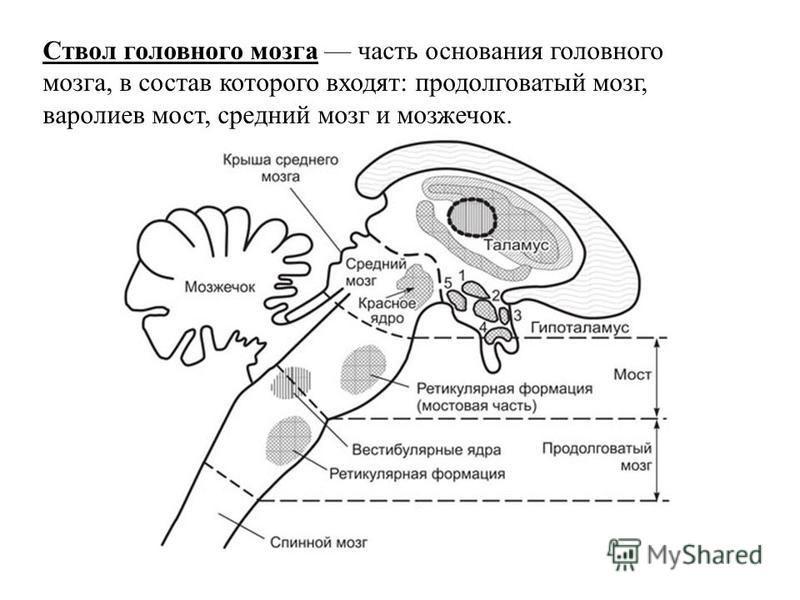 Ствол головного мозга часть основания головного мозга, в состав которого входят: продолговатый мозг, варолиев мост, средний мозг и мозжечок.