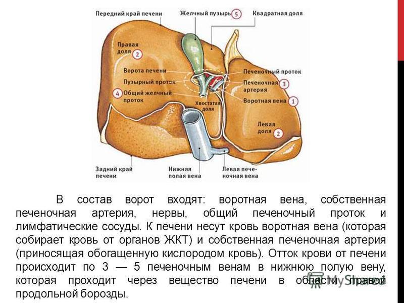 В состав ворот входят: воротная вена, собственная печеночная артерия, нервы, общий печеночный проток и лимфатические сосуды. К печени несут кровь воротная вена (которая собирает кровь от органов ЖКТ) и собственная печеночная артерия (приносящая обога