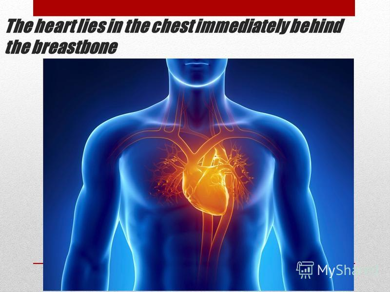 The heart lies in the chest immediately behind the breastbone