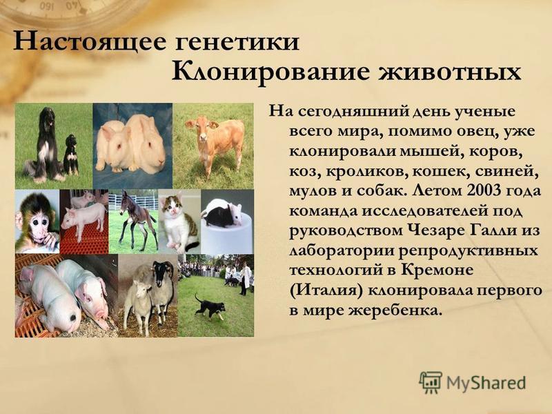 Настоящее генетики Клонирование животных На сегодняшний день ученые всего мира, помимо овец, уже клонировали мышей, коров, коз, кроликов, кошек, свиней, мулов и собак. Летом 2003 года команда исследователей под руководством Чезаре Галли из лаборатори