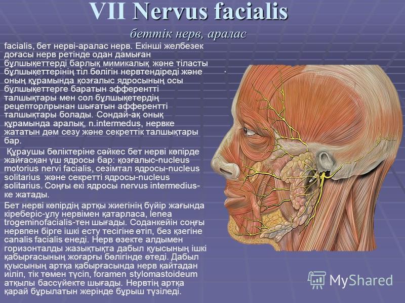 facialis, бет нерві-аралас нерв. Екінші желбезек доғасы нерв ретінде одна дамыған бұлшықеттерді барлық мимикалық және тіласты бұлшықеттерінің тіл бөлігін нервтендіреді және оның құрамында қозғалыс ядросының осы бұлшықеттерге баратын эфферентті талшық