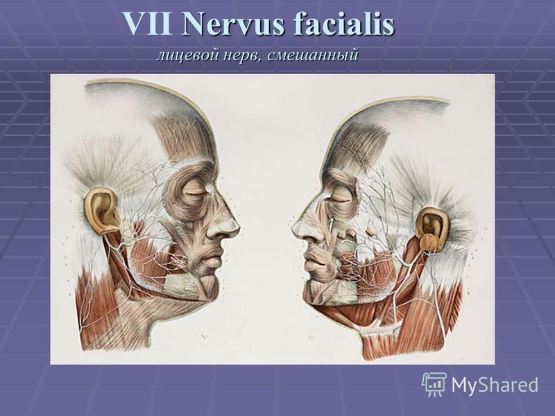 Nervus facialis лицевой нерв, смешанный VII Nervus facialis лицевой нерв, смешанный
