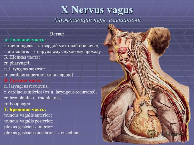 X Nervus vagus блуждающий нерв, смешанный Ветви: А. Головная часть: r. memningeus – к твердой мозговой оболочне; r. auricularis – к наружному слуховому проходу. Б. Шейная часть: rr. pharyngei; n. laryngeus superior; rr. cardiaci superiores (для сердц