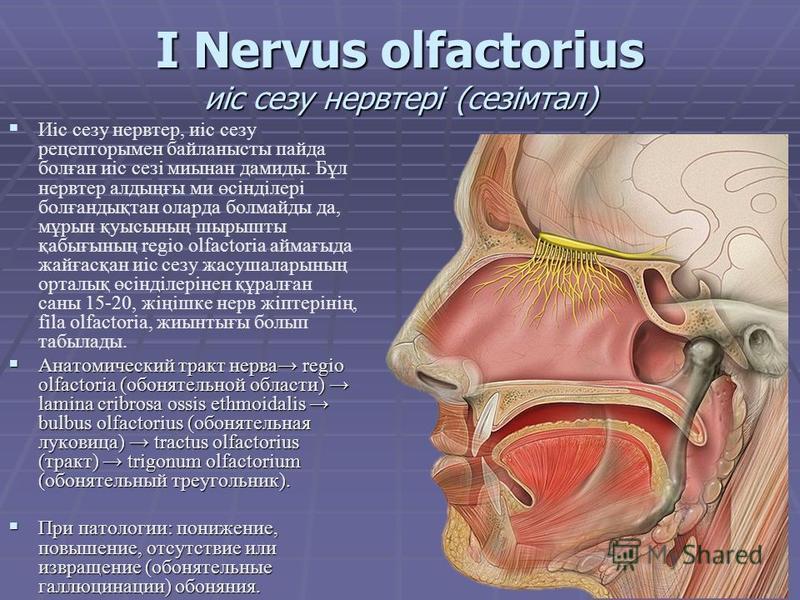 I Nervus olfactorius иіс слезу нерв тері (сезімтал) Иіс слезу нерв тер, иіс слезу рецепторы мен байланысты пайда болған иіс сезі миынан демиды. Бұл нерв тер алдыңғы ми өсінділері болғандықтан оларда болмайды да, мұрын қуысының шырышты қабығының regio