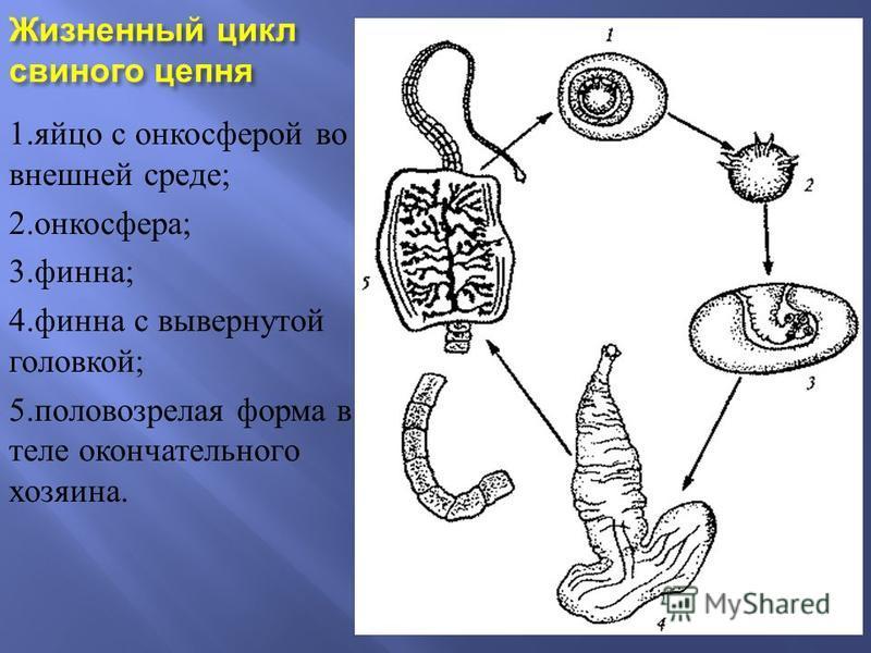 Жизненный цикл свиного цепня 1. яйцо с онкосферой во внешней среде ; 2. онкосфера ; 3. финна ; 4. финна с вывернутой головкой ; 5. половозрелая форма в теле окончательного хозяина.