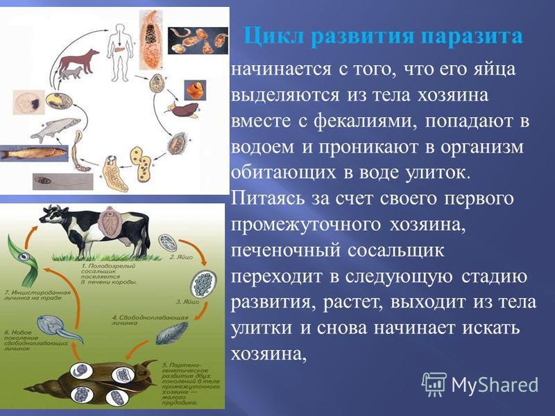 Цикл развития паразита начинается с того, что его яйца выделяются из тела хозяина вместе с фекалиями, попадают в водоем и проникают в организм обитающих в воде улиток. Питаясь за счет своего первого промежуточного хозяина, печеночный сосальщик перехо