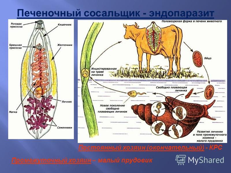 Печеночный сосальщик - эндопаразит Постоянный хозяин (окончательный) - КРС Промежуточный хозяин – малый прудовик