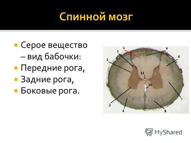 Серое вещество – вид бабочки: Передние рога, Задние рога, Боковые рога.