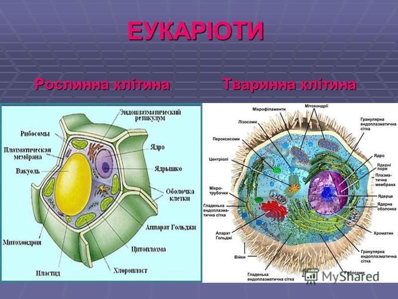 ЕУКАРІОТИ Рослинна клітина Тваринна клітина