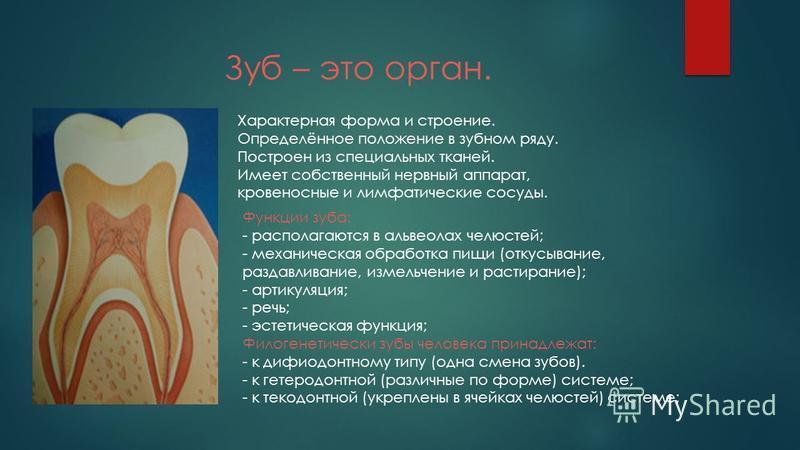 Зуб – это орган. Характерная форма и строение. Определённое положение в зубном ряду. Построен из специальных тканей. Имеет собственный нервный аппарат, кровеносные и лимфатические сосуды. Функции зуба: - располагаются в альвеолах челюстей; - механиче