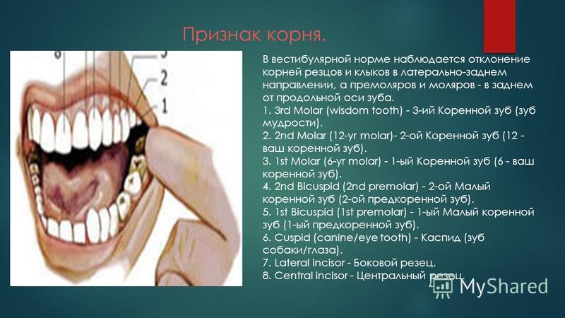 Признак корня. В вестибулярной норме наблюдается отклонение корней резцов и клыков в латерально-заднем направлении, а премоляров и моляров - в заднем от продольной оси зуба. 1. 3rd Molar (wisdom tooth) - 3-ий Коренной зуб (зуб мудрости). 2. 2nd Molar